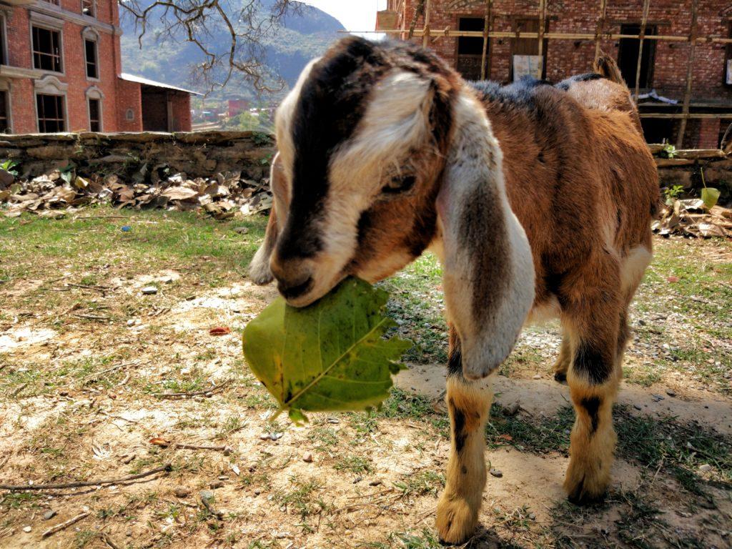 Goat at Tundikhel